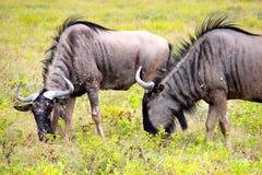 Gnu in Etosha Namibia Africa Fotografia Stock Libera da Diritti