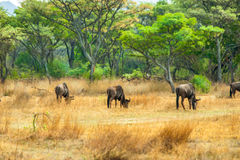 Gnu (gnu) che pasce nel bushveld africano Fotografia Stock