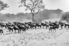 Gnu - Gnus in Serengeti, Tansania, Schwarzweißfotografie stockfotos