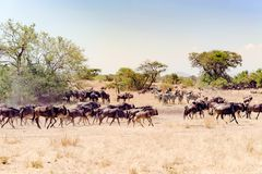 Gnu - Gnus zur großen Migrationszeit in der Savanne von Serengeti, Tansania, Afrika stockbild