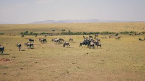 Gnu Graze On Yellow Dry Grass de Savannah Plain Where Thousands Of do africano vídeos de arquivo