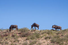 Gnu herd on  the hill Royalty Free Stock Photo