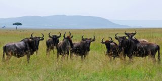 Gnu herd looking around Royalty Free Stock Images