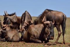 Gnu-Herde, die für Nahrung erfasst Stockfoto
