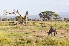 Gnu i Amboseli, Kenya Royaltyfri Fotografi