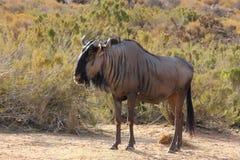 Gnu i den afrikanska busken Arkivfoto