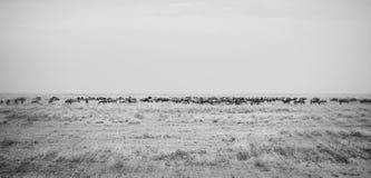 Gnu i flyttning på slättarna av Serengetien royaltyfri fotografi