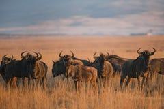 Gnu i guld- ljusa Sydafrika royaltyfri fotografi