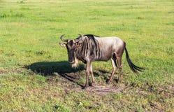 Gnu i Maasai Mara, Kenya Royaltyfri Fotografi