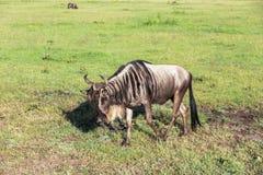Gnu i Maasai Mara, Kenya Arkivfoton
