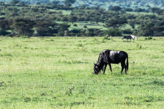 Gnu i Maasai Mara, Kenya Royaltyfria Bilder