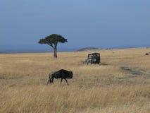 Gnu i masaien Mara Royaltyfri Fotografi