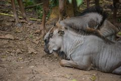 Gnu i zoo royaltyfri fotografi