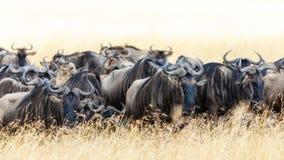 Gnu im langen Gras des Masais Mara stockfotografie