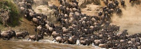 Gnu kör till den Mara floden stor flyttning kenya tanzania Masai Mara National Park royaltyfri fotografi