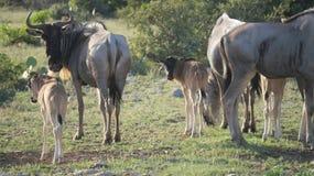Gnu-Kühe und Kälber lizenzfreie stockfotografie