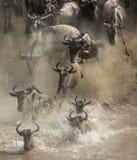 Gnu korsar den Mara floden stor flyttning kenya tanzania Masai Mara National Park arkivfoto