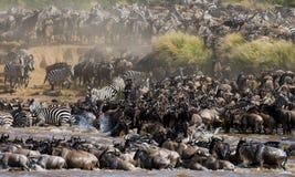 Gnu korsar den Mara floden stor flyttning kenya tanzania Masai Mara National Park royaltyfri fotografi