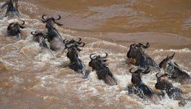 Gnu korsar den Mara floden stor flyttning kenya tanzania Masai Mara National Park arkivbild