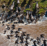 Gnu korsar den Mara floden stor flyttning kenya tanzania Masai Mara National Park royaltyfria foton