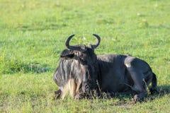 Gnu in Maasai Mara, Kenia Stockfotografie
