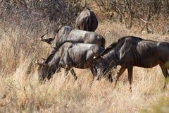 Gnu Madikwe lekreserv Arkivfoto