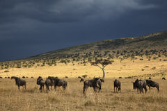 Gnu in Masai Mara Stock Photography