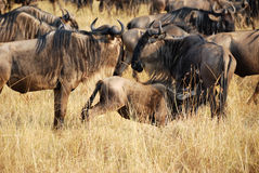 Gnu in Masai Mara, Kenya Royalty Free Stock Photography
