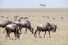 Gnu migration Royalty Free Stock Images