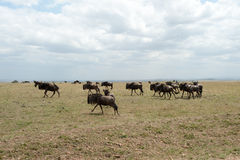 Gnu migration Royalty Free Stock Image