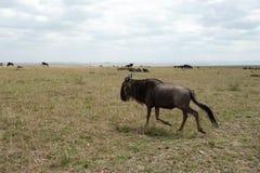 Gnu migration Stock Photo