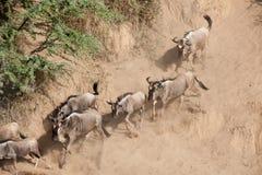 Gnu migration Stock Image