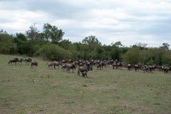 Gnu migration Stock Images