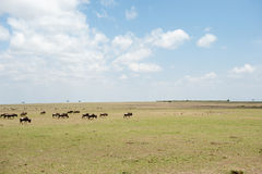 Gnu migration Stock Photography