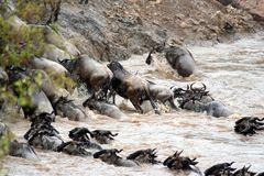 Gnu Migration Royalty Free Stock Photo
