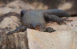 Gnuśna jaszczurka sunning na skale Zdjęcie Royalty Free