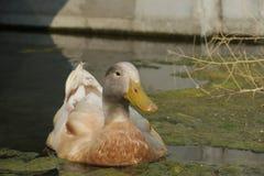 Gnuśna kaczka zdjęcia royalty free