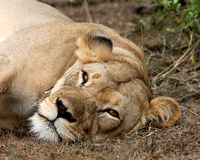 gnuśna lwica Zdjęcie Royalty Free