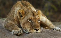 Gnuśna lwica Obrazy Stock