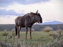 Gnu na planície theAfrican Fotografia de Stock