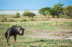 Gnu, Namibia, Africa Royalty Free Stock Photos