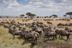 Gnu nas planícies do Masai Mara, Kenya Imagens de Stock
