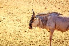 Gnu nel parco Fotografia Stock Libera da Diritti