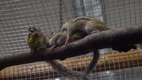 Gnuśni chipmunks Obraz Stock