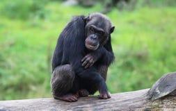 Gnuśni szympansy Zdjęcia Royalty Free