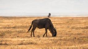Gnu no savana africano, em Ngorongoro, Tanzânia fotos de stock