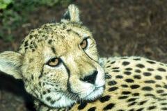 Gnuśny gepard Zdjęcia Royalty Free