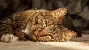 Gnuśny kot zdjęcie stock