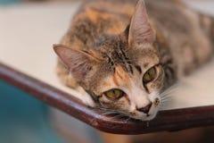 Gnuśny kot, kot na stole Zdjęcia Royalty Free