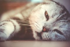 Gnuśny kota dosypianie Fotografia Royalty Free